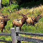 Roosevelt Elk by JamesA1