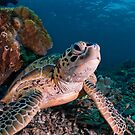 Green Turtle, Sipadan, Sabah, Malaysia by Erik Schlogl