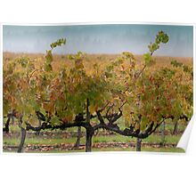 Grape Vines after Autumn Rain Poster