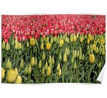 Pretty Tulips Poster
