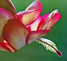 Epiphyllum Cactus Flower by David Alexander Elder