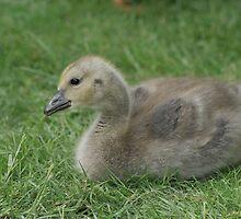 Sweet Little Gosling by Debbie Stika