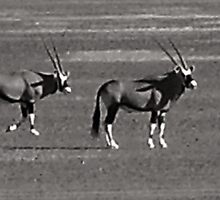 Two magnificent Gemsbok by kimmylowe1986