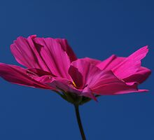 Pink on blue.... i love you :0) by Yool