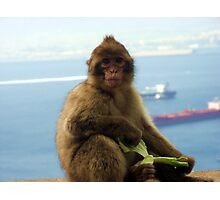Barbary Macaques (Monkey) Photographic Print