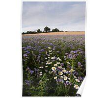 Ox Eye Daisies, Phacelia & Barley Poster