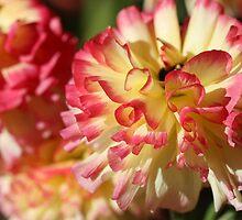 Ranunculus by reflector