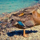 Duck 2 by Liev