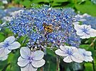 Blue Lacecap Hydrangea and Bee Fly by MotherNature