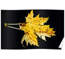 Maple Leaf on Black Poster