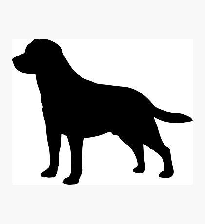 Labrador Photographic Print