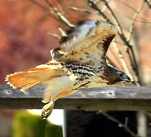 Red-Tailed Hawk by reindeer