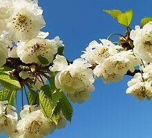 Cherry blossom sky by Adrian S. Lock