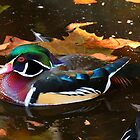 Wood Duck by Thom  Perry