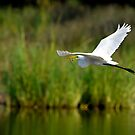 Great White Egret Flying With Eel by Joe Jennelle