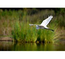 Great White Egret Flying With Eel Photographic Print