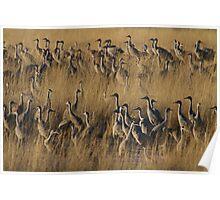 Sandhill Cranes in Evening Poster