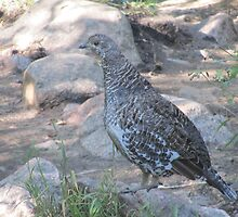 Blue Grouse in Rocky Mountain National Park by David Galson