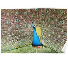 Peafowl Poster