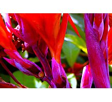 Canna lily stalks Photographic Print