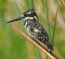 Majestic Pied Kingfisher by Paul Watkins