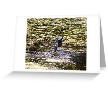 Satin flycatcher diving 9069 - I hope to get better images with practice Greeting Card