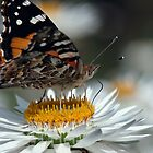 Monarch butterfly (Danus plexippus) by Gerrart