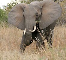 African Elephant 2 by Rob Chiarolli