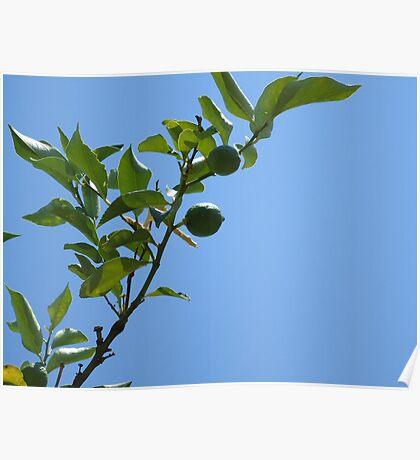Premature lemon tree Poster