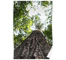 Large Tree In The Great Smoky Mountains Poster