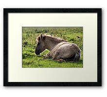 Born Wild & Free - Konik Foal Framed Print