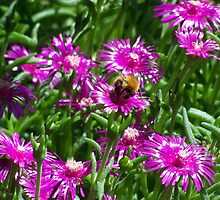 Bumble bee at work by hltnr