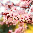 Plum Flowers Blossom by Kelvin  Wong