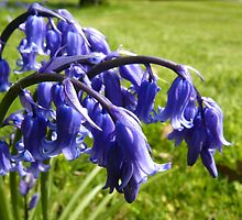 English Bluebell by Adrian S. Lock