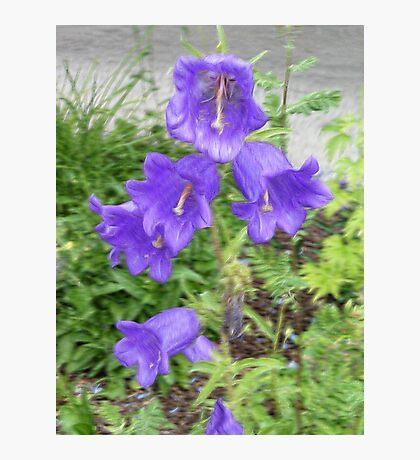 Little Purple Bells Photographic Print