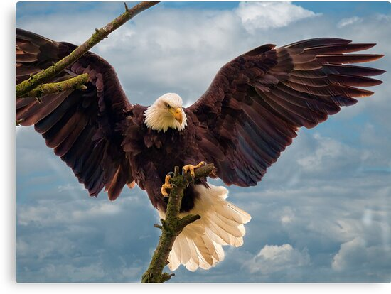 Bald Eagle Landing on a Branch by David Friederich