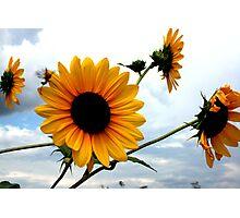 Kansas Sunflowers Photographic Print