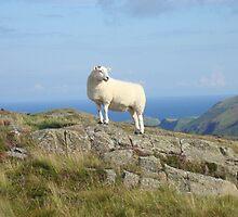 Sheep at Fair Head, Ballycastle by NiallMcC