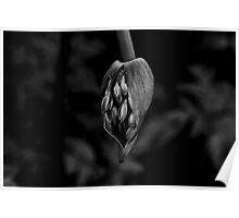 Agapanthus in black and white Poster