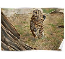 Leopard at Austin Zoo Poster