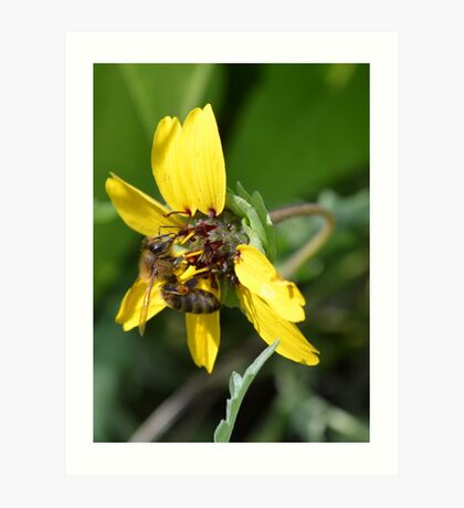 Chocolate Flower with a Honey Bee Visitor Art Print