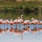 Chilean Flamingos by Coreena Vieth