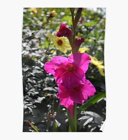 Magenta Gladiolus Flower Poster