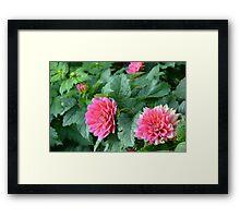 Bright Pink Dahlia Flowers Framed Print