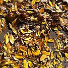 Elm leaves in Autumn by Douglas E.  Welch