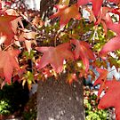Red Leaves in Autumn by Douglas E.  Welch