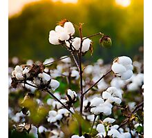 Cotton Field Photographic Print