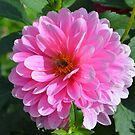 Bee on Pink Dahlia by Paula Betz