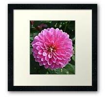 Bright Pink Dahlia Framed Print