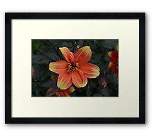 Orange and Yellow Dahlia with Bee Framed Print